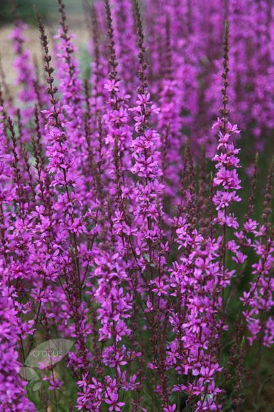 Loosestrife intense purple red flowers appear on tall for Plant with tall spikes of yellow flowers