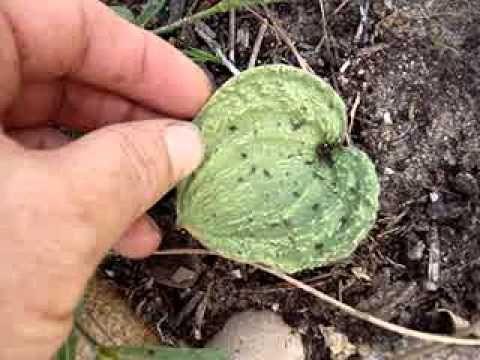 Eriospermum capense var stoloniferum