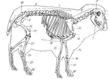 Про, анатомия козы в картинках