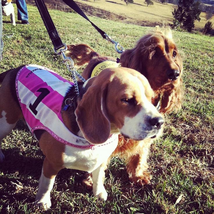 Beagle hunting fox - photo#21