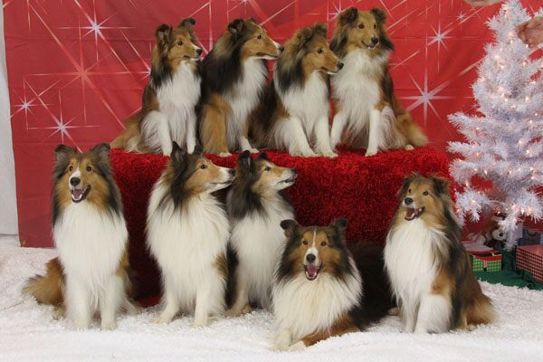 1000 images about puppies or dogs at christmastime on pinterest