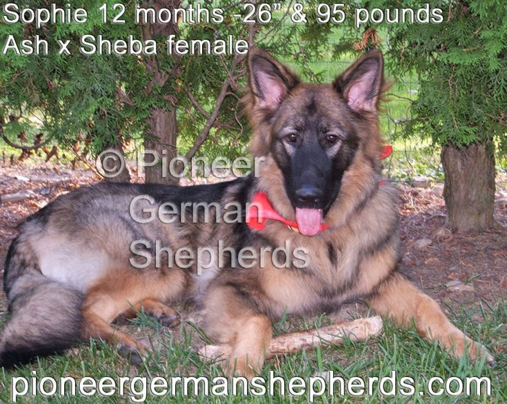 Large German Shepherd Sophie at 12 months and 95 lbs