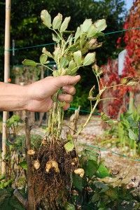 How to grow peanuts--if you have poor soil, growing peanuts will actually improve the dirt quality
