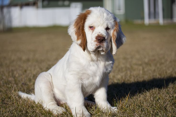 Clumber Spaniel puppy enjoying nice weather http://ift.tt/2p2bMPy