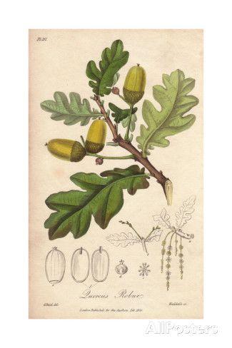 English Oak Tree, Quercus Robur reproduction procédé giclée