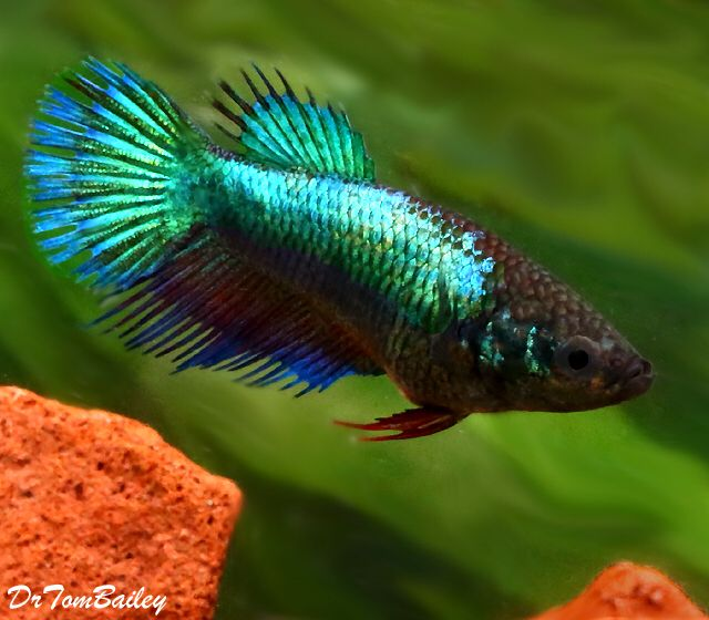 17 best images about betta on pinterest auction photo for Pictures of female betta fish