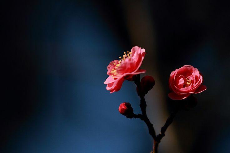 ●尾山神社の八重寒紅梅が開花  ギヤマンの神門 - ・・金沢から発信のブログ 風景と花・・