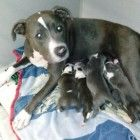 When Panda Paws Rescue was informed about a Craigslist ad selling three-day-old pit bull puppies they didn't hesitate to act. Panda Paws Rescue founder Amanda Giese obtained as much information as she could and then contacted authorities in Fontana, California who came to the aid of the puppies and her mother.