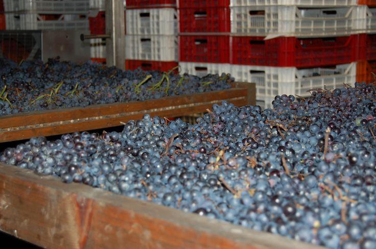 Appassimento in Tommasi winery in Valpolicella www.tommasi.com