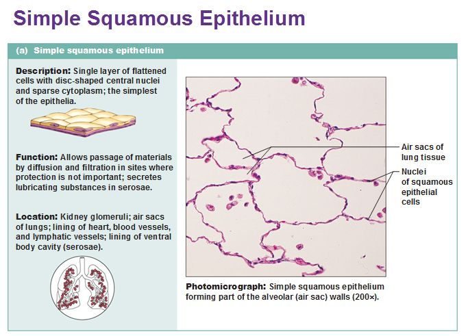 simple squamous epithelium http://tmiky.com/pinterest