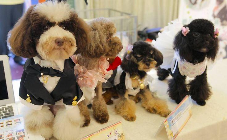 Poodles usam ternos feitos sob medida e vestidos de noiva durante exibição para imprensa em Taipé, Taiwan.