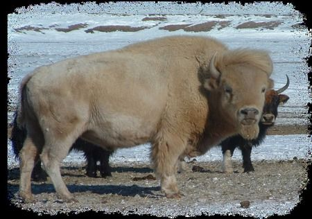 The Majestic White Buffalo