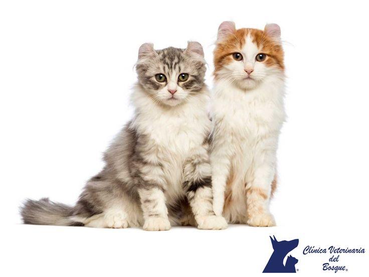 Categoría II en razas de gatos.  LA MEJOR CLÍNICA VETERINARIA DE MÉXICO. En la categoría II se encuentran razas con el pelo semi-largo y musculosas, como el gato American Curl de pelo largo, American Curl de pelo corto, Maine Coon, gato de los bosques de Noruega, Ragdoll, Birmano Sagrado, gato Siberiano, Angora Turco, y Van Turco. En Clínica Veterinaria del Bosque contamos con médicos especialistas para atender a tu mascota.  #veterinariadelbosque