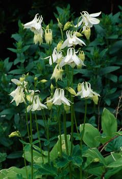 Aquilegia - any of tyhe aquilegias are great in shade. They self seed and come up different colours every year. We could use selective removal and replant so they end up in the right places.