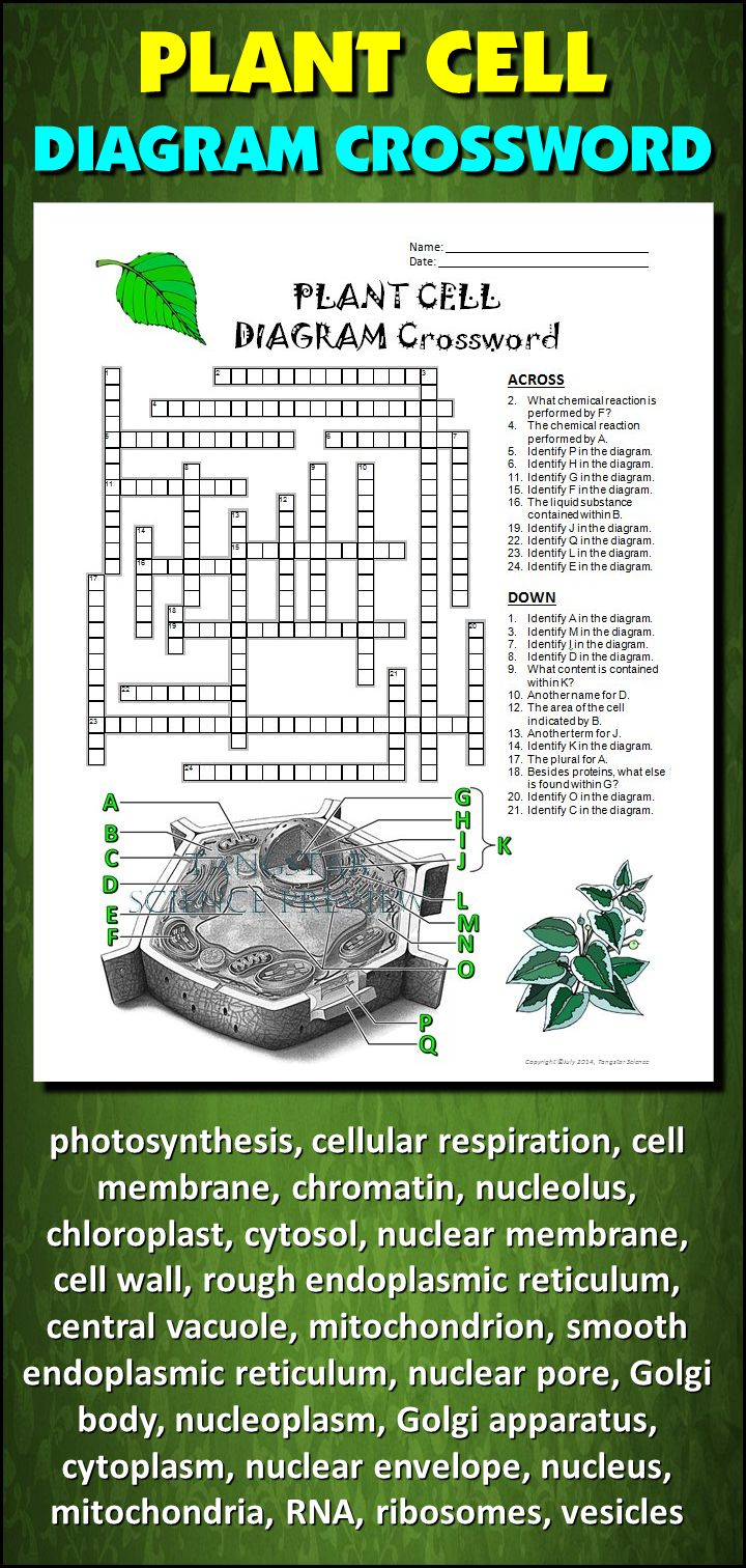 Help students learn and remember the parts of the plant cell using this diagram crossword.  BONUS ACTIVITY:  When they've completed the crossword, get them to cut out the diagram, glue it on a separate page and label the parts of the diagram.  This activity would work well within an interactive notebook as well. It can function as an assessment of learning, or it can serve as another reinforcement activity. Afterwards, they have a handy labeled diagram to help them review.