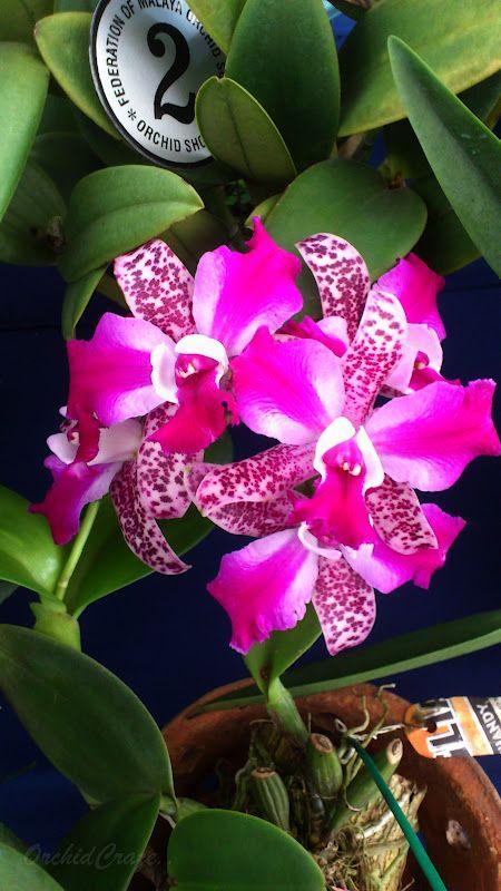 OrchidCraze: Pretty Orchid!cat.hybrid no name!