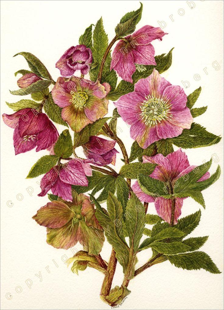 Botanical Drawings | Botanical Paintings - Botanical Drawings - Lynne Broberg Botanicl ...