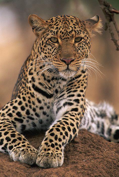 Leopard panthera pardus #wildlife