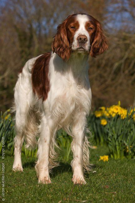 Red and white Setter ♥