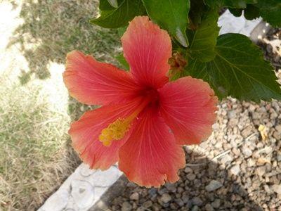 Bunga Kembang Sepatu Peach