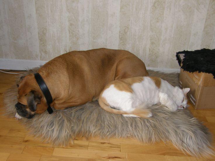 Avec Marcel. Boxer dog.