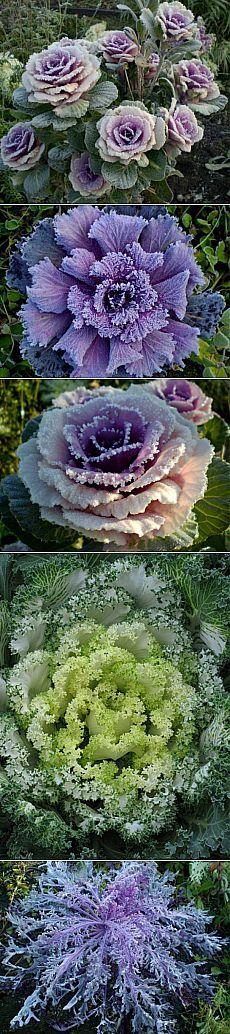 Декоративная капуста - Цветы - Каталог статей - Липово ЖСК