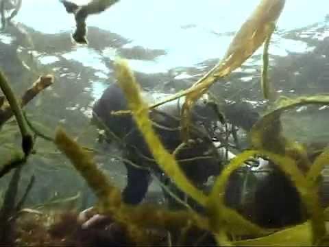Algas marinas. Las verduras del mar.