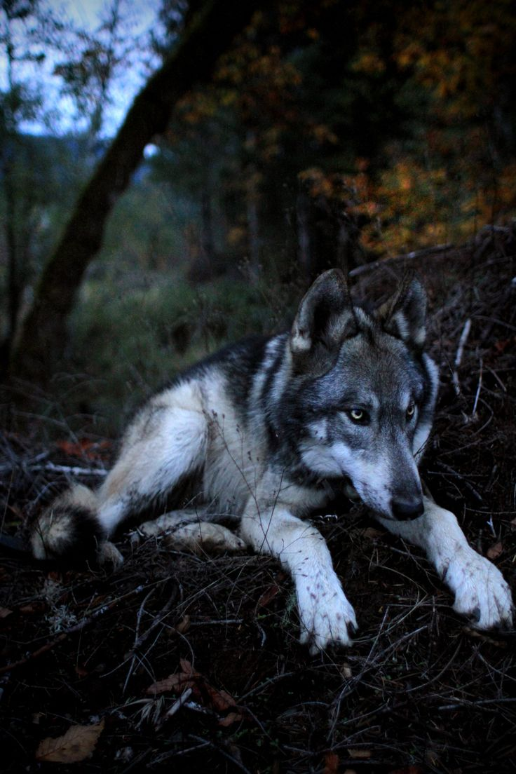 "ivar-the-real-wolfdog: "" Ivar the wolfdog at nearly 7 months old. """