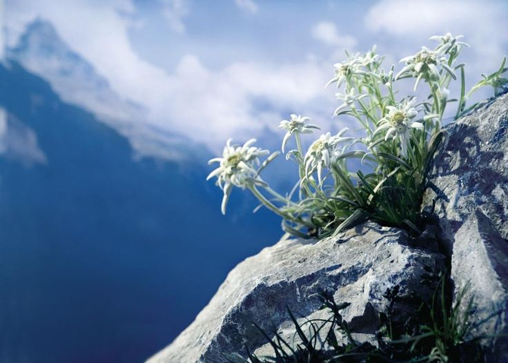edelweiss....how can you see this and not want to sing!