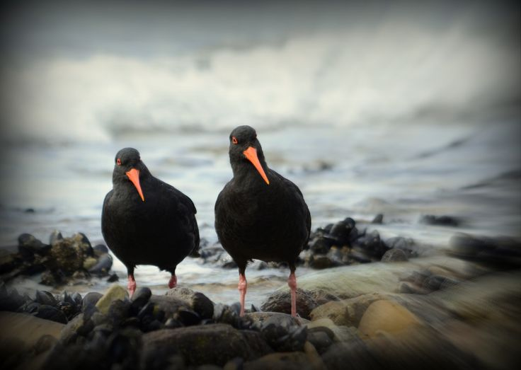 Out at Ship's cove these oyster catchers were captured on camera by Resort Owner, Murray