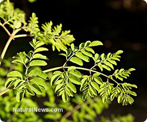 Moringa oleifera: The miracle tree of the Himalayas