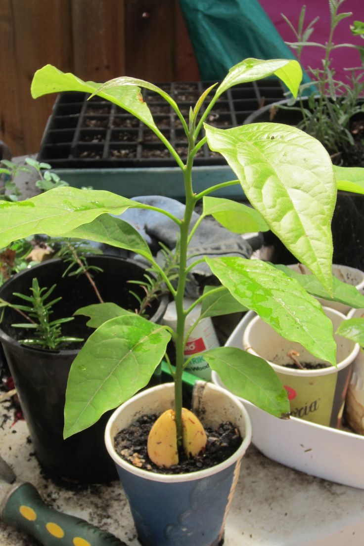 how to grow an avocado tree in melbourne