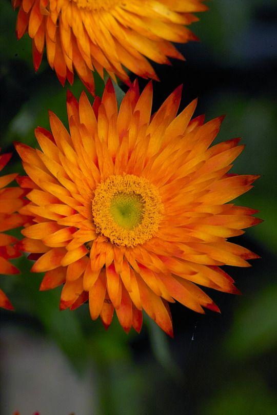 Strohblume / Everlasting Flower, Golden Everlasting Daisy (Helichrysum bracteatum) Bezugsquelle für Samen / Seed Source: www.saatkontor.de