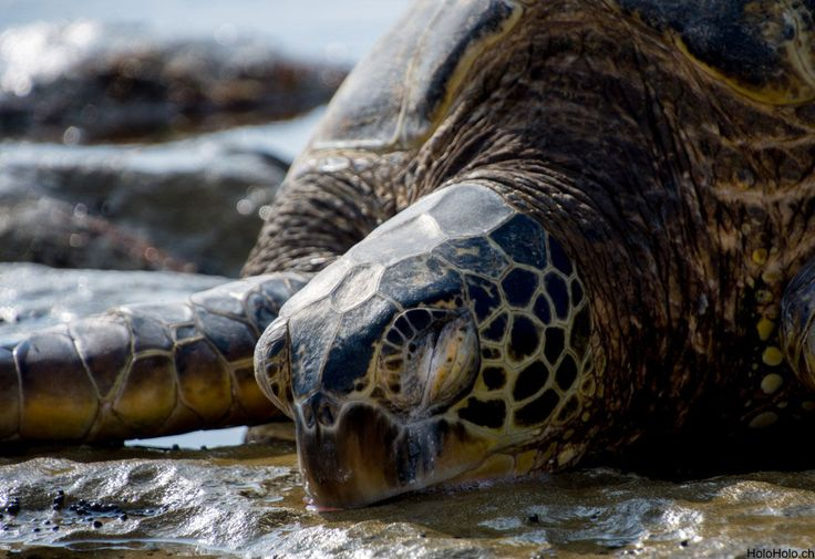 Die Grüne Meeresschildkröte auf Oahu