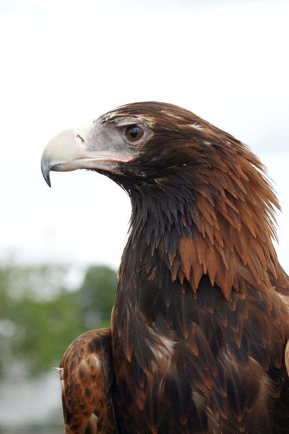 Wedge Tailed Eagle - such an impressive Australian bird