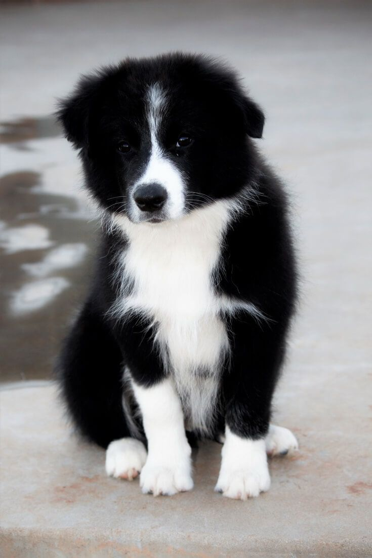Afghan Hound Vs Border Collie Cute Dogs Puppies Border Collie