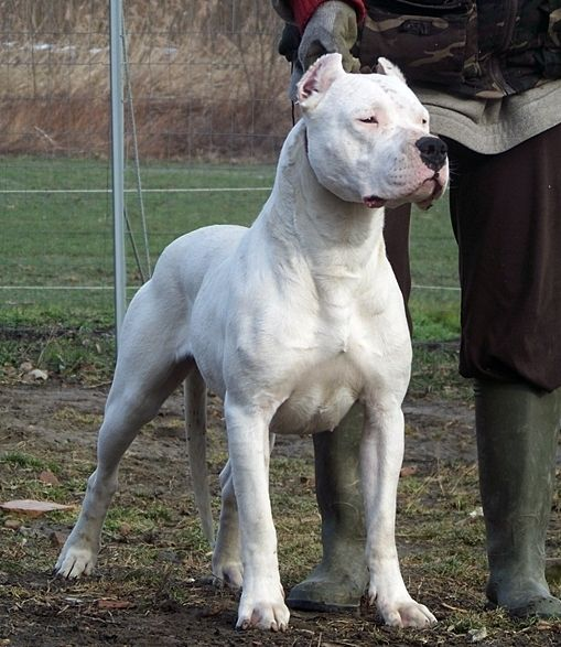 43 best Dogo Argentino images on Pinterest | Dog breeds ...