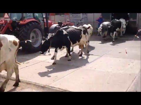 koeien naar buiten 2015 - YouTube