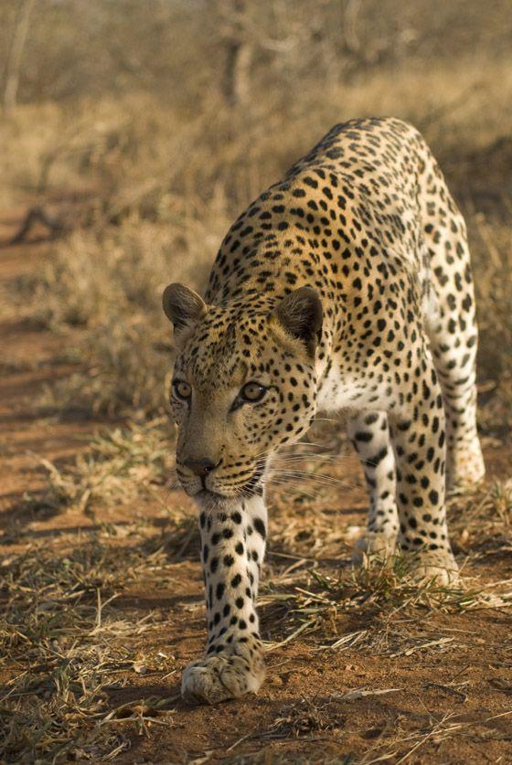Leopard at Greater Kruger National Park South Africa