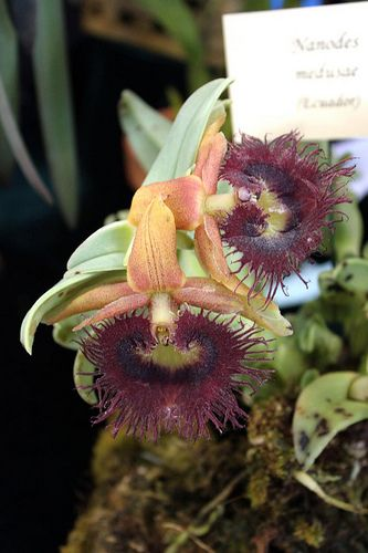 Orchid - Nanodes medusa: Photos, Tropical Beauty Orchids, Orquídea, Tropical Beautiful Orchids, Growing Orchids, Orchids Obsession, Nanod Medusa, Nanodes Medusa