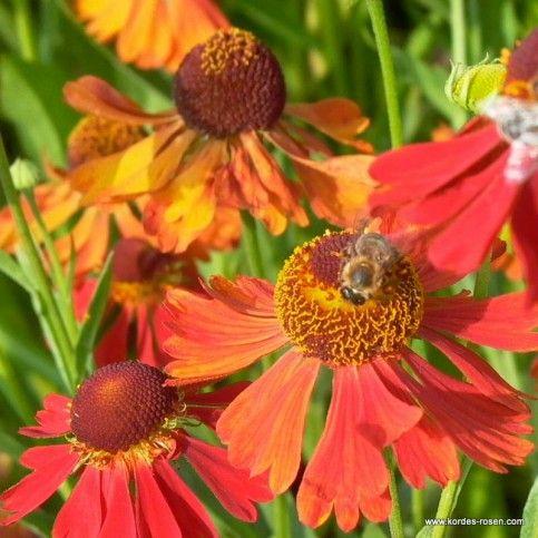 Sonnenbraut Helenium x cultorum 'Moerheim Beauty'
