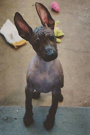 The Xoloitzcuintli | The Xoloitzcuintli, pronounced SHOW-LOW-ETZ-QUEENT-LEE, is also known as the Mexican Hairless Dog. The breed's history is long and fascinating, going all 3500 years back to the Aztecs and Mayans. Back then, people believed the Xolo would safeguard the home from evil spirits as well as intruders.  17 Dope Dog Breeds You've Never Heard Of And Need Right Now