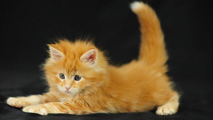 Maine Coon kitten...!!