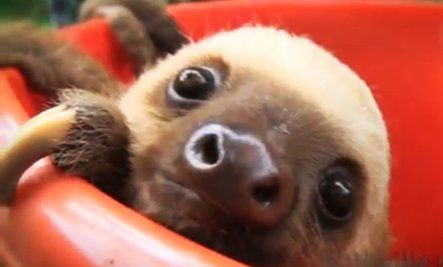 Did You Order a Bucket of Sloths?  Adorable video.  . . MUST SEE!!