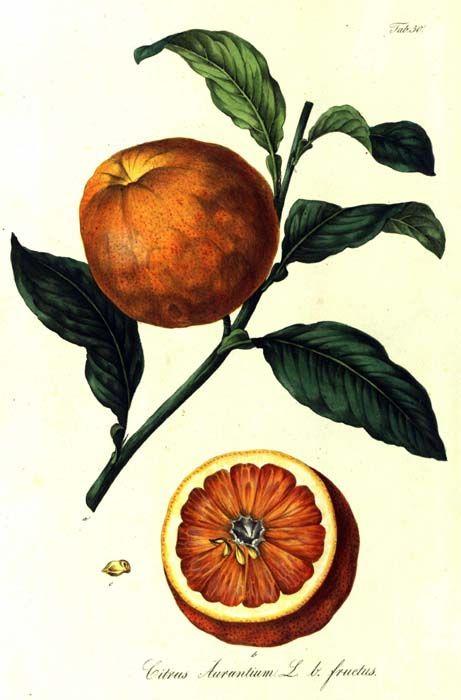 Citrus Aurantinum (con Imágenes)