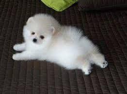 """Résultat de recherche d'images pour """"mini chien pomeranien"""""""