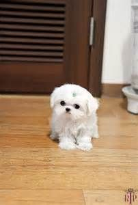 Tiny Teacup Maltese For Sale - Bing Images