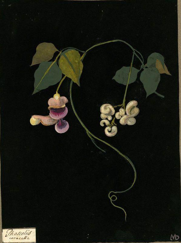 Mary Delany  Phaseolus caracalla