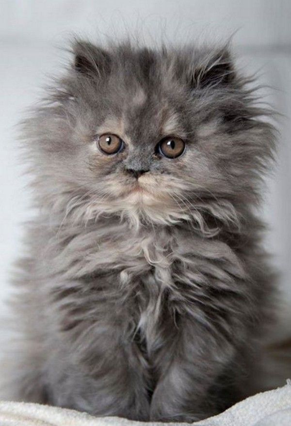 Best 25+ Fluffy Kittens Ideas On Pinterest