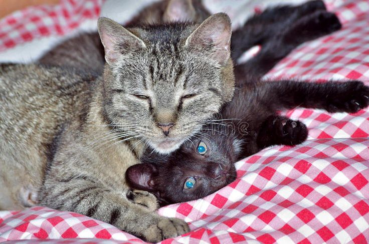 Tabby Cat With Kitten Royalty Free Stock Image
